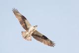 1DX78483 - Osprey in Flight