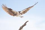 1DX78581 - Osprey Landing