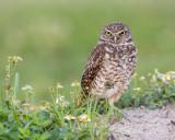 1DX79720 - Burrowing Owl