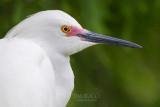 M4_17160 - Snowy Egret