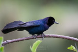 1DX80001 - Boat Tailed Grackle