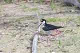1DX79936 - Black Necked Stilt on Nest