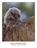 Great Horned Owl-025