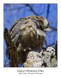 Great Horned Owl-027