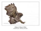 Great Gray Owl-168