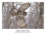 Great Gray Owl-169