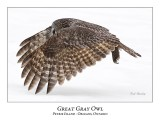 Great Gray Owl-171