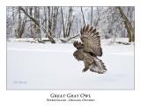 Great Gray Owl-173