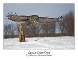Great Gray Owl-177