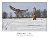 Great Gray Owl-178