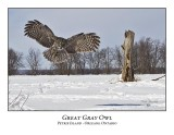 Great Gray Owl-179