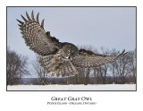 Great Gray Owl-180