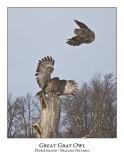 Great Gray Owl-184