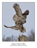 Great Gray Owl-188