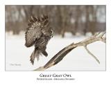 Great Gray Owl-189