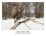 Great Gray Owl-190
