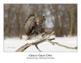 Great Gray Owl-191