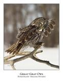 Great Gray Owl-192