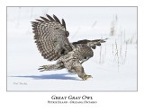 Great Gray Owl-193