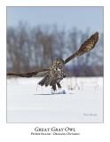 Great Gray Owl-195