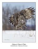 Great Gray Owl-196