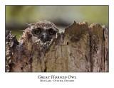 Great Horned Owl-034