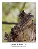 Great Horned Owl-035