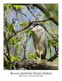 Black-crowned Night-Herons