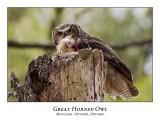 Great Horned Owl-036