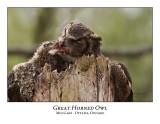 Great Horned Owl-040