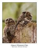 Great Horned Owl-042