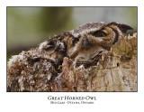 Great Horned Owl-043