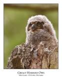 Great Horned Owl-046