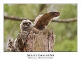 Great Horned Owl-047