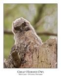 Great Horned Owl-049