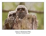 Great Horned Owl-050
