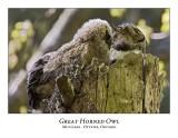 Great Horned Owl-051