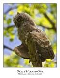 Great Horned Owl-052