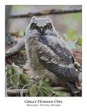 Great Horned Owl-054