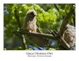 Great Horned Owl-055