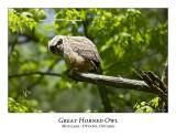 Great Horned Owl-056