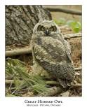 Great Horned Owl-057