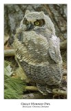 Great Horned Owl-058