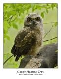 Great Horned Owl-059