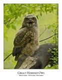 Great Horned Owl-061