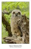 Great Horned Owl-062