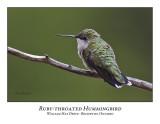 Ruby-throated Hummingbird-011