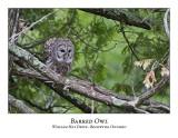 Barred Owl-032