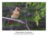 Northern Cardinal-009