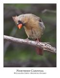 Northern Cardinal-010
